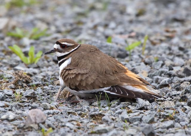 4 killdeer sheltering chicks.jpg
